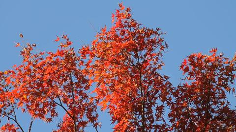 Autumn Leaves / Fall Colors / Tree / Blue Sky - Fix ビデオ
