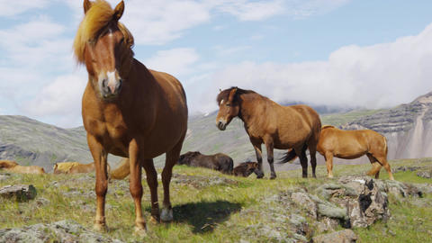 Horses - Icelandic horse on Iceland. Beautiful Icelandic horse standing on field Footage