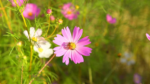 Bee flying on the purple cosmos flower Footage