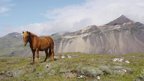 Iceland Horse - Icelandic horses on beautiful Icelandic horse standing on field Footage
