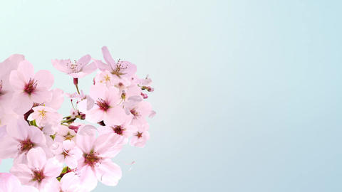 cherry blossom, blooming, blue background Animation