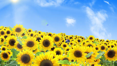 Sunflower field and summer sky and cloud, flight 애니메이션