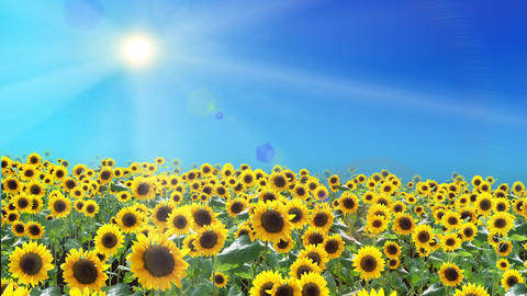 Sunflower field and summer sun, floating, loop 애니메이션