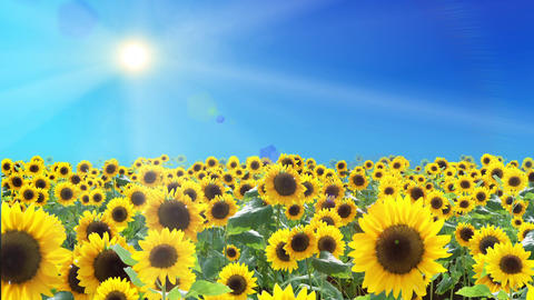 Sunflower field and sky ,Loop Animation