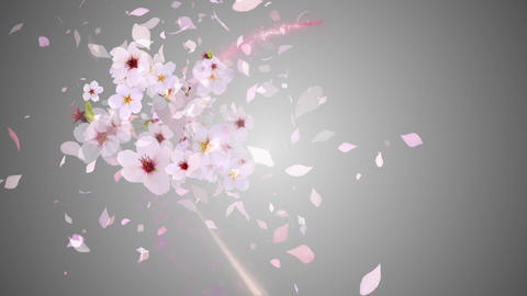 Cherry blossoms blooming on the color line 1, gray background Animation