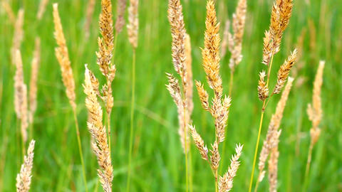 Reed Canary Grass (Phalaris arundinacea) Footage