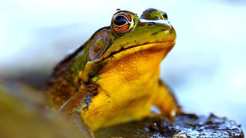 Green Frog (Rana clamitans) Footage