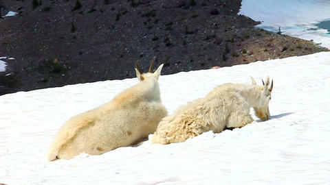 Mountain Goats (Oreamnos americanus) Footage