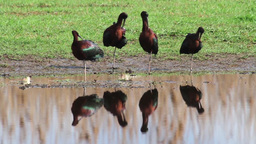 Glossy ibis Footage