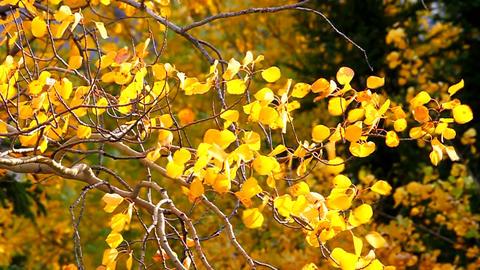 Aspen Leaves in Wind Footage