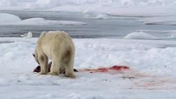 Polar bear and seagulls feeding from a seal Footage