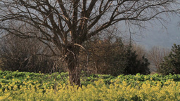 Pistachio tree Footage