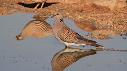 Turtle Dove Coming to drink Footage