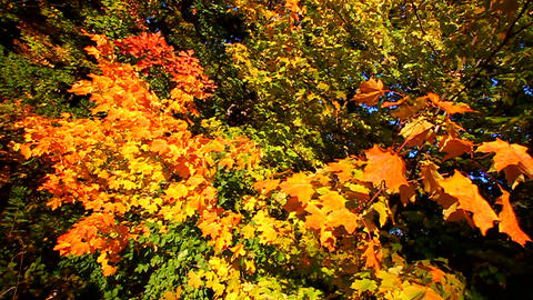 Autumn Leaves Landscape Footage