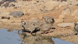 Chukar and chicks drink water Footage