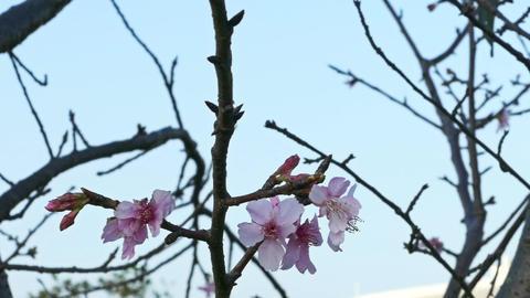 Cherry blossoms on tree Live影片