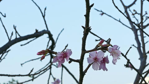 Cherry blossoms on tree Live Action