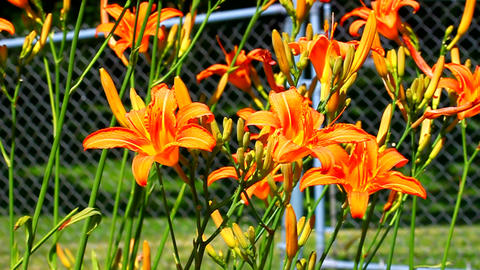 Orange Daylily (Hemerocallis fulva) Footage