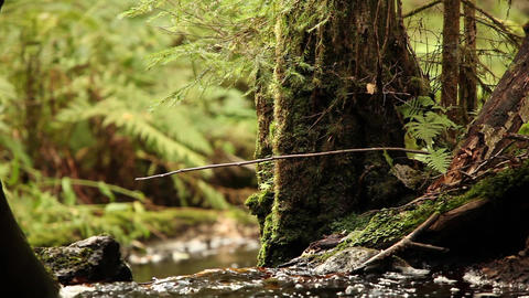 forest brook flows among the mighty trees Footage