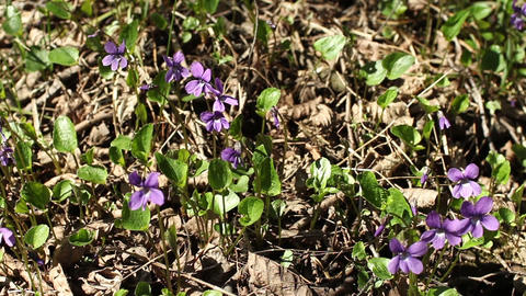 spring primroses violets grew from last year's foliage Footage