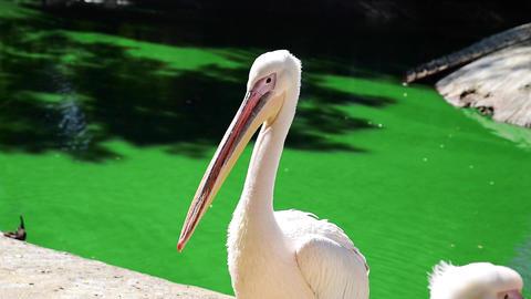 White Pelican 0