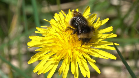 bumblebee on yellow dandelion flower closeup Footage