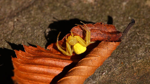 Yellow Crab Spider macro Footage