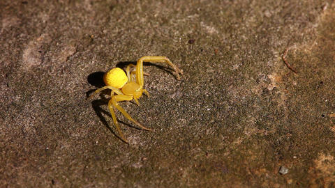 Yellow Crab Spider macro Live Action