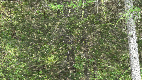 Lot of bees fly and swarm between the trees Footage