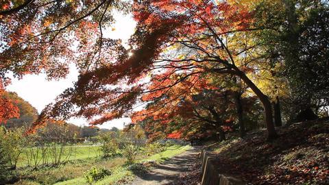 Autumn Leaves / Fall Colors / Tree / Backlight - Fix ビデオ