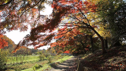 Autumn Leaves / Fall Colors / Tree / Backlight - Fix, ライブ動画