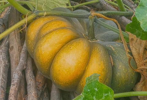 Huge pumpkin フォト