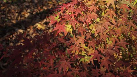 Autumn Leaves / Fall Colors / Contrast - Fix ビデオ