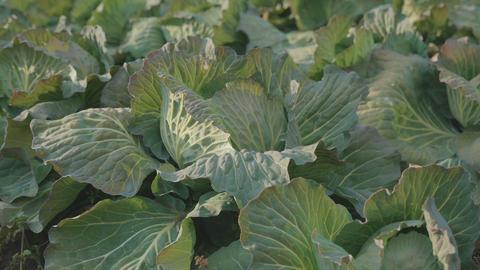 Cabbage field,Tokyo,Japan,Filmed in 4K ビデオ
