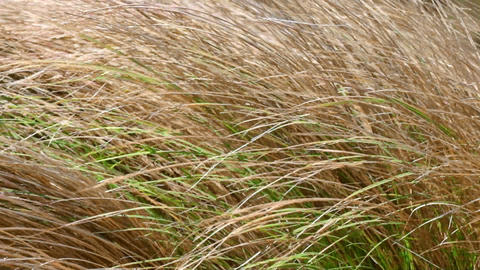 Wind is swaying wild grass on the meadow Footage