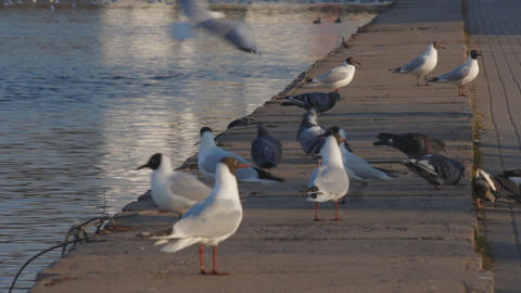 Ungraded: Gulls And Pigeons On Concrete Embankment Of River stock footage