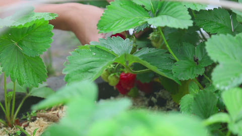 Ripe strawberry harvesting, close-up Footage
