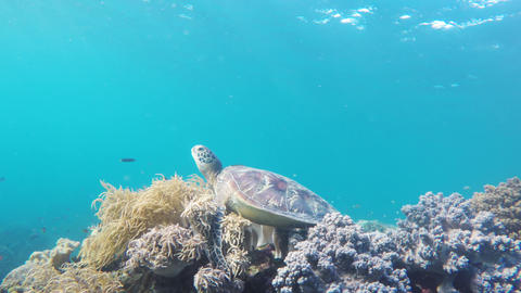 Sea turtle in the tropical sea Footage