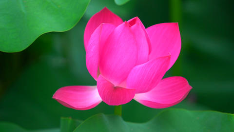 lotus flower close up pink red ビデオ