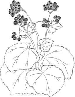 Graceful burdock Vector