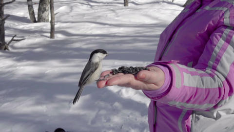 Birds in women's hand eat seeds Footage