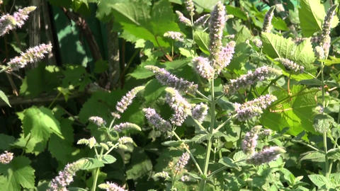 summer time medical herbs mint blossoms in garden Live Action
