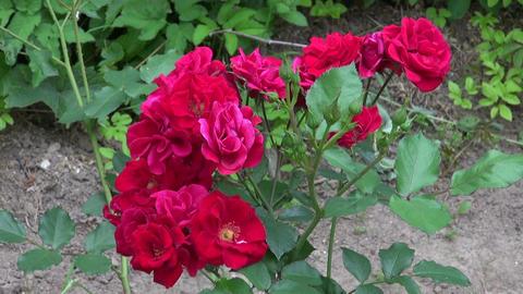 gardener with magnifier looking fresh rose buds in garden Live Action