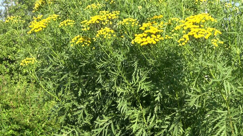 Medical Plant of Tansy (Tanacetum vulgare) in summer ビデオ
