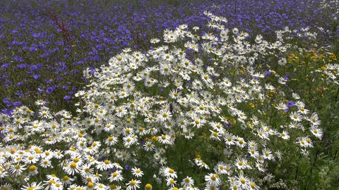 beautiful wild flowers field in wind. Marguerite and cornflowers Footage