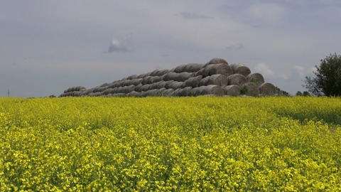 old straw bales stack on beautiful yellow rapeseed field Live Action