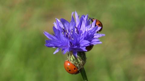 ladybird ladybugs on blue summer cornflower blossom Footage