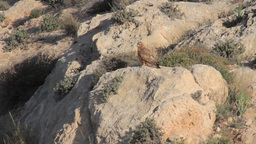 Long legged buzzard Footage
