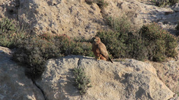 Long legged buzzard stand on a rock Footage