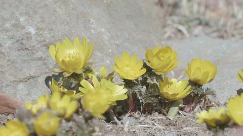 Flowers of Amur adonis,in Showa Memorial Park,Tokyo,Japan,Filmed in 4K Footage